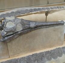 2.2.1 Jurassique Ancien Toarcien Pelagosorus Typus Paris MHN