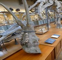 3.4 Miocène Gomphotherium Angustidens Paris MHN
