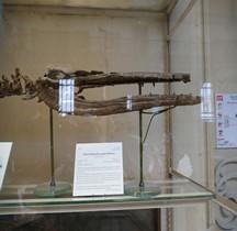 2.2.2.Jurassique  Moyen Callovien Metriorhynchis Superciliosus Paris MHN