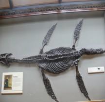 2.2.1 Jurassique Ancien Rhomaleasaurus Cramptoni Londres