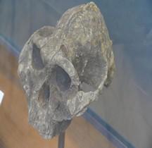 0 Hominidés 0.3 Pliocène Supérieur Australopithecus Boisei Paranthrope Crane Paris MHN