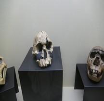 1.2. Paléolithique Inférieur Pleistocène Moyen Homo Ergaster Moulage Crane Rimini