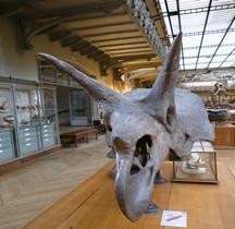 2.3.3 Crétacé Final Maastrichtien Triceratops Horridus  Paris