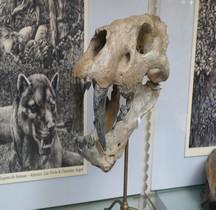1.4.1 Paléolithique supérieur Aurignacien Homotherium Crenatidens Paris MHN
