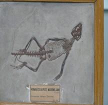 2.2.3.Jurassique Supérieur Homeosaurus Paris MHN