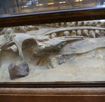 2.3.6 Crétacé Final Mosasaurus hoffmanni Paris MHN