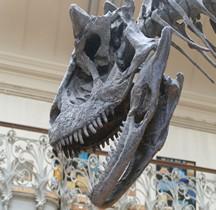 2.3.6 Crétacé Final Maastrichtien Carnotaurus Sastrei Paris MHN