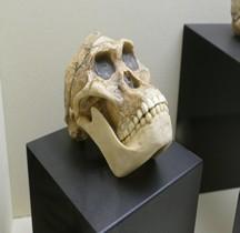 0.3 Pliocène Supérieur Australopithecus Afarensis  Moulage Crane Rimini