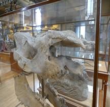 0.2 Pliocène Moyen Dihoplus Megarhinus Paris