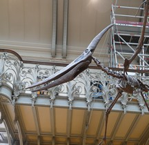 2.3.6 Crétacé Final Maastrichtien Pteranodon Paris