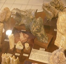 1.2. Paléolithique Inférieur Pleistocène Moyen Dicerorhinus hemitoechus Tautavel