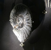 2.3.3 Crétacé Final  Ammonites Paris MHN