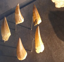 2.3.1 Crétacé  Inférieur Platecarpus Ictericus Mosasaure Dents Paris MHN