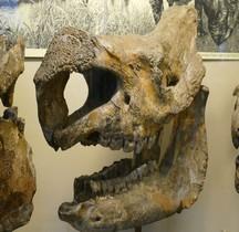 4.1.2 Pliocène Moyen Stephanorhinus etruscus Rhinoceros Etruscus  Paris MHN