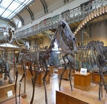 4.1.3 Quaternaire Pleistocène supérieur Equus Hemionus paris MHN