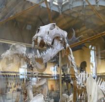 1.4.1 Paléolithique supérieur Aurignacien Lion des cavernes européen Felis leo spelaea Paris