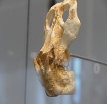 3.4.2 Miocène Moyen Anoiapithecus Brevirostris Paris MH