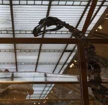 4.1.3 Quaternaire Pleistocène Supérieur Dinornis Robustus Moa géant Paris MHN