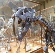 4.1.3 Quaternaire Pleistocène supérieur Smilodon Populator  Paris MHN