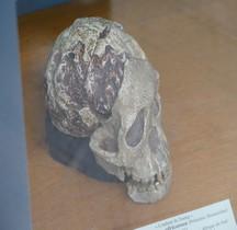 0 Hominidés 0.3 Pliocène Supérieur Australopithecus africanus Australopithecus Africanus  Enfant deTaung Paris MHN
