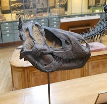 2.3.1 Crétacé Inférieur Iguanodon Bemissartensis Paris MHN