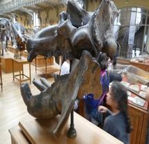 4.1.1 Quaternaire Pleistocène Inferieur Hippopotamus Antiquus  Paris MHN