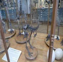 1.2. Paléolithique Inférieur Pleistocène Moyen Pachyornis Elephantopus Paris