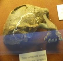 0.2 Pliocène Supérieur Homo Erectus Sangiran 17 Crane