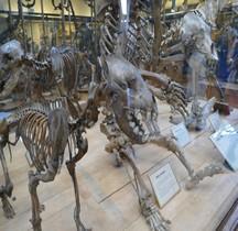 1.4.1 Paléolithique supérieur Aurignacien Hyène Tachetée Hyena Crocuta Paris