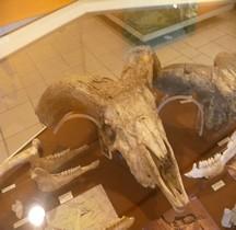 1.2. Paléolithique Inférieur Pleistocène Moyen Ovis Ammon Antiqua Mouflon Tautavel