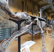 2.3.1 Crétacé Inférieur Sarcosuchus  Imperator Paris MHN