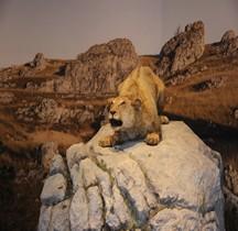 1.4.1 Paléolithique supérieur Aurignacien Lion des cavernes européen Panthera leo spelaea  Grotte Chauvet
