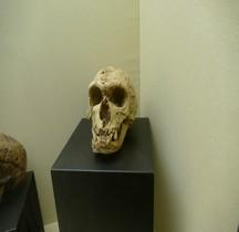 0 Hominidés 1.3.3 Paléolithique Moyen Moustérien Homo Sapiens Neanderthalensis Rimini