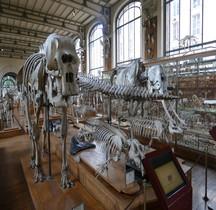1.4.1 Paléolithique supérieur Elephant d'Afrique Paris MHN