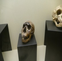 1.1. Paléolithique Inférieur Pleistocène supérieur Homo Rudolfensis Crane Moulage Rimini
