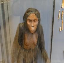 0.3 Pliocène Supérieur Australopithecus afarensis Lucy Paris