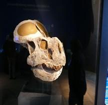 2.3.5 Crétacé Superieur Campanien Protoceratops Paris MHN