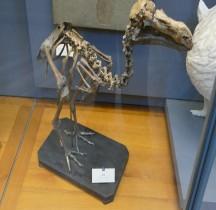 4 Quaternaire Raphus Cucullatus Dodo Squelette Paris