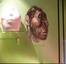 0.3 Pliocène Supérieur Australopithecus Boisei Bruxelles