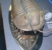 1.1 Cambrien Trilobite Londres