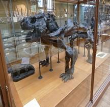 1.6.2 Permien Moyen Pareiasauridae Bradysaurus Baini Paris