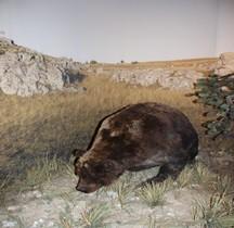 1.4.1 Paléolithique supérieur Aurignacien Ours des Cavernes Ursus spelaeus  Grotte Chauvet