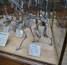 1.4.1 Paléolithique supérieur Aurignacien Canis Lupus Paris