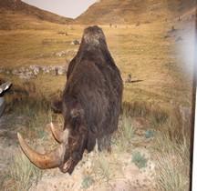 1.4.1 Paléolithique supérieur Aurignacien Rhinocéros Laineux  Coelodonta Antiquitatis Grotte Chauvet