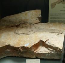 2.2.3.Jurassique Supérieur Tithonien Steneosaurus Priscus Paris MHN