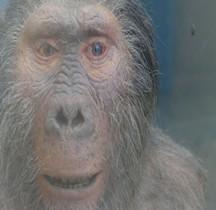 0 Hominidés 0.3 Pliocène Supérieur Australopithecus Boisei Paranthope Paris MHN
